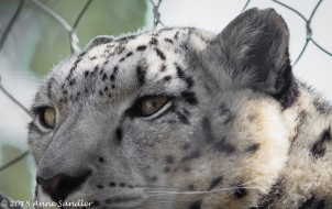 Eye on the Snow Leopard.