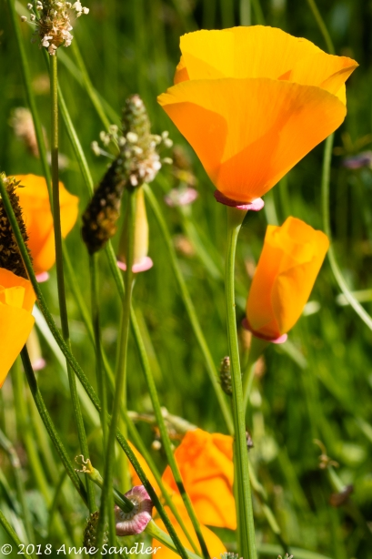 I finally got to shoot some poppies.