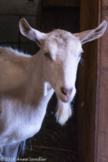 Our welcoming goat as we entered the barn.