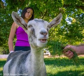 Hand feeding a goat.