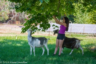 Gabby is pulling down a branch for the goats to chew on.