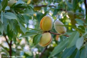 Almond pods?