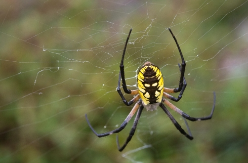 Sandler Anne Industrious Black and Yellow Garden Spider. jpeg WPA Rock Garden