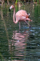 I think this is one of the young flamingos. His feathers aren't so orange.