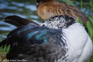 This Comb Duck is resting.