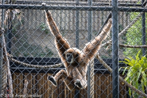 "This White-Handed Gibbon says ""Let me out!"""