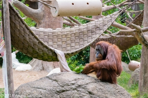 I could get the entire Orangutan in the shot.