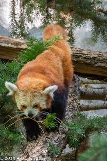 Finally a Red Panda that got off a branch!
