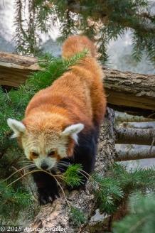 Finally a Red Panda that got off a branch!