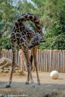 Now for the giraffes.