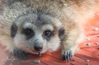 A meerkat resting.