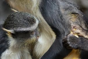 Baby Wolf Guenon feeding.